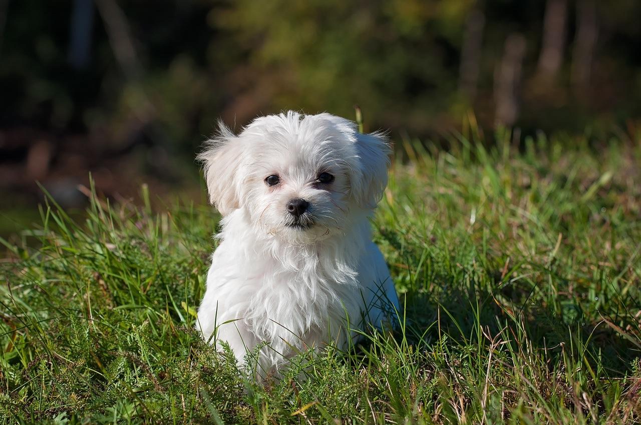 dog-young-dog-small-dog-maltese